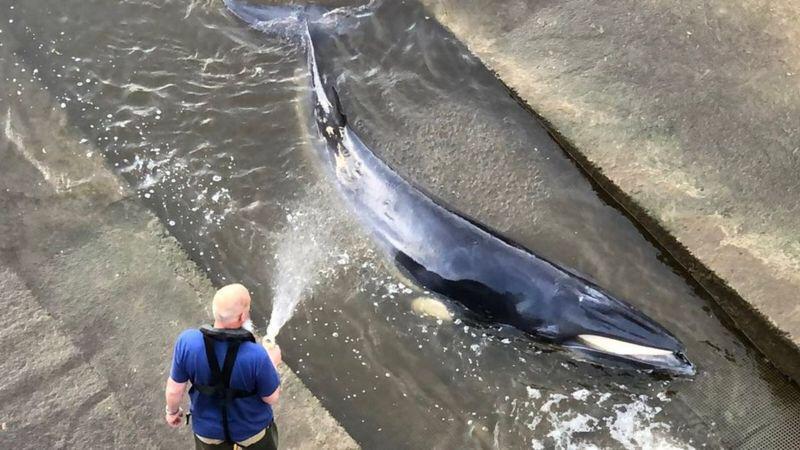 """Temza çayında ilişən balina belə  xilas edildi - <b style=""""color:red"""">Video</b>"""